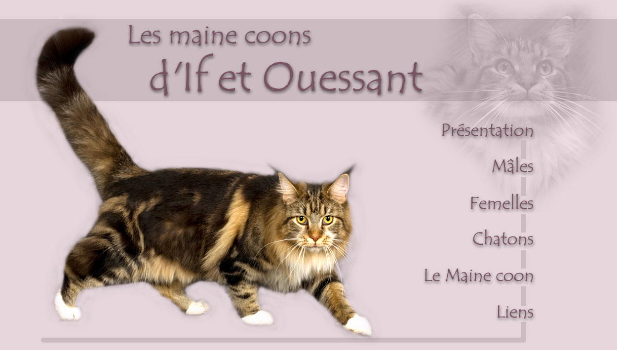 Gundiya chatte Maine Coon brown blotched tabby et blanc